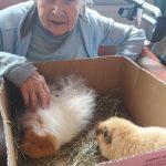 seniorka s morčaty