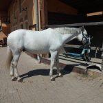 Selský Dvůr - bílý kůň