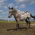 strakatý kůň
